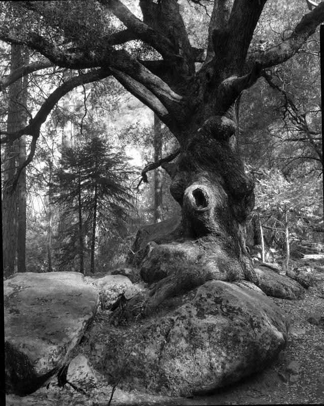 Eye of the Oak