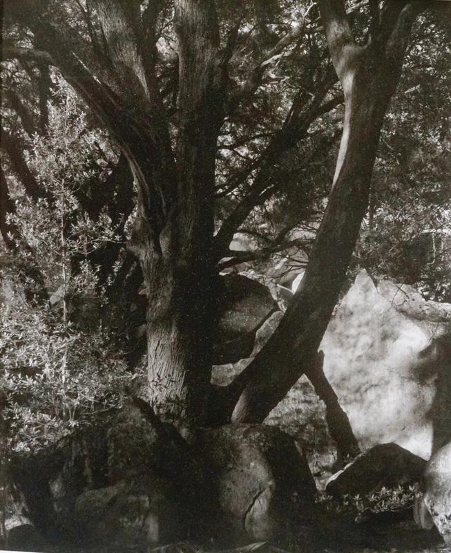Black Oak Ahwahnee