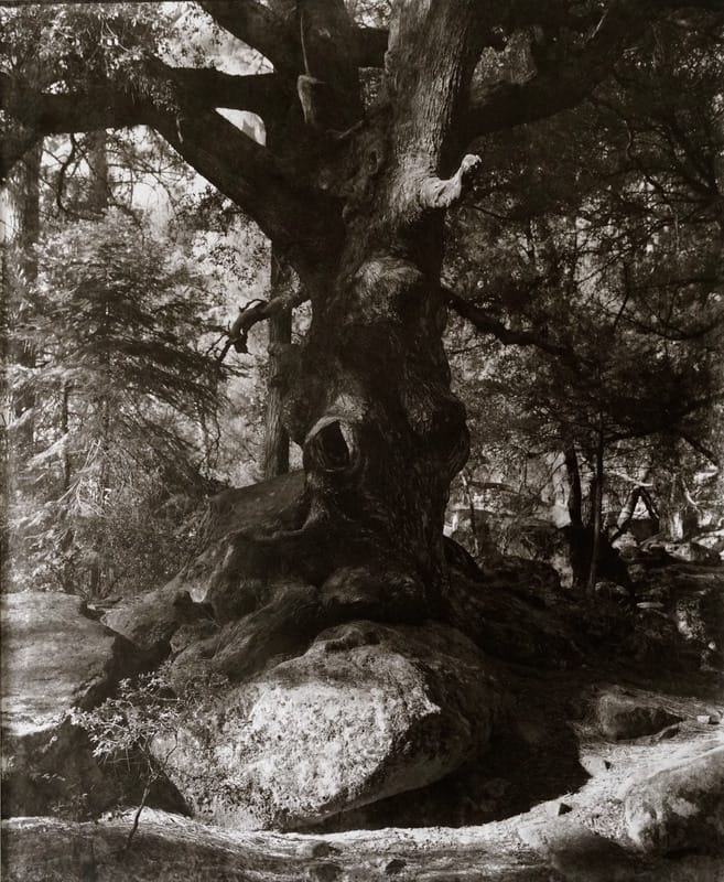 """""""Eye of the Oak Revisited"""""""