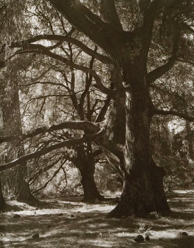 Black Oaks in Tandem