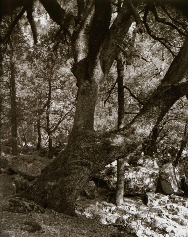 Black Oak on the Ledge