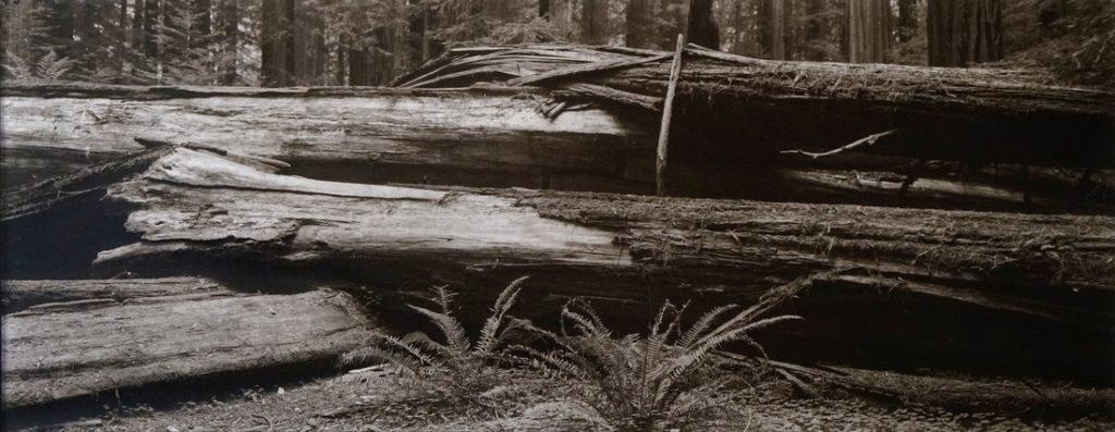 Fallen Giant #2 Bull Creek Flat